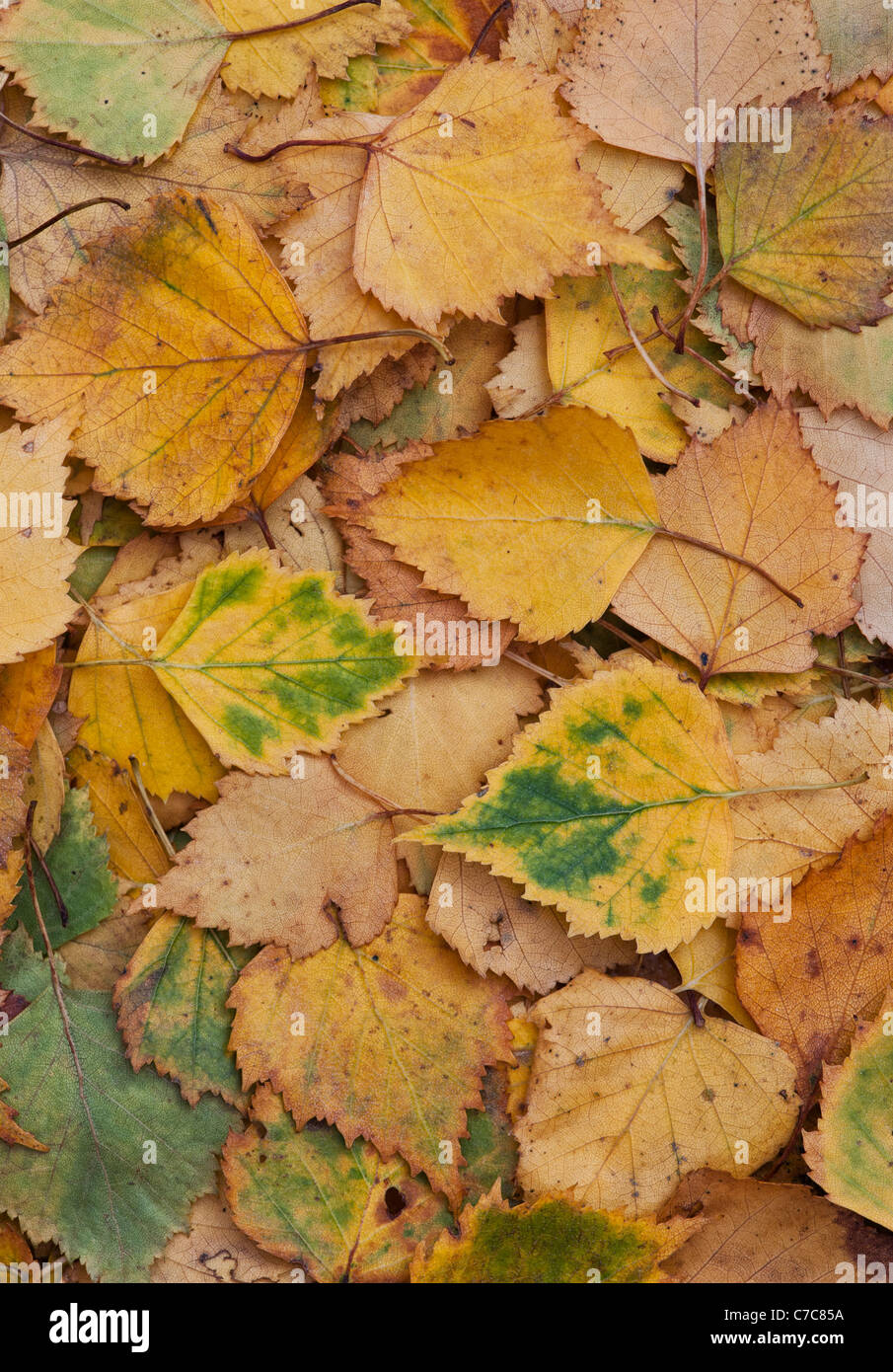 Betula pendular . Silver birch leaves in autumn - Stock Image