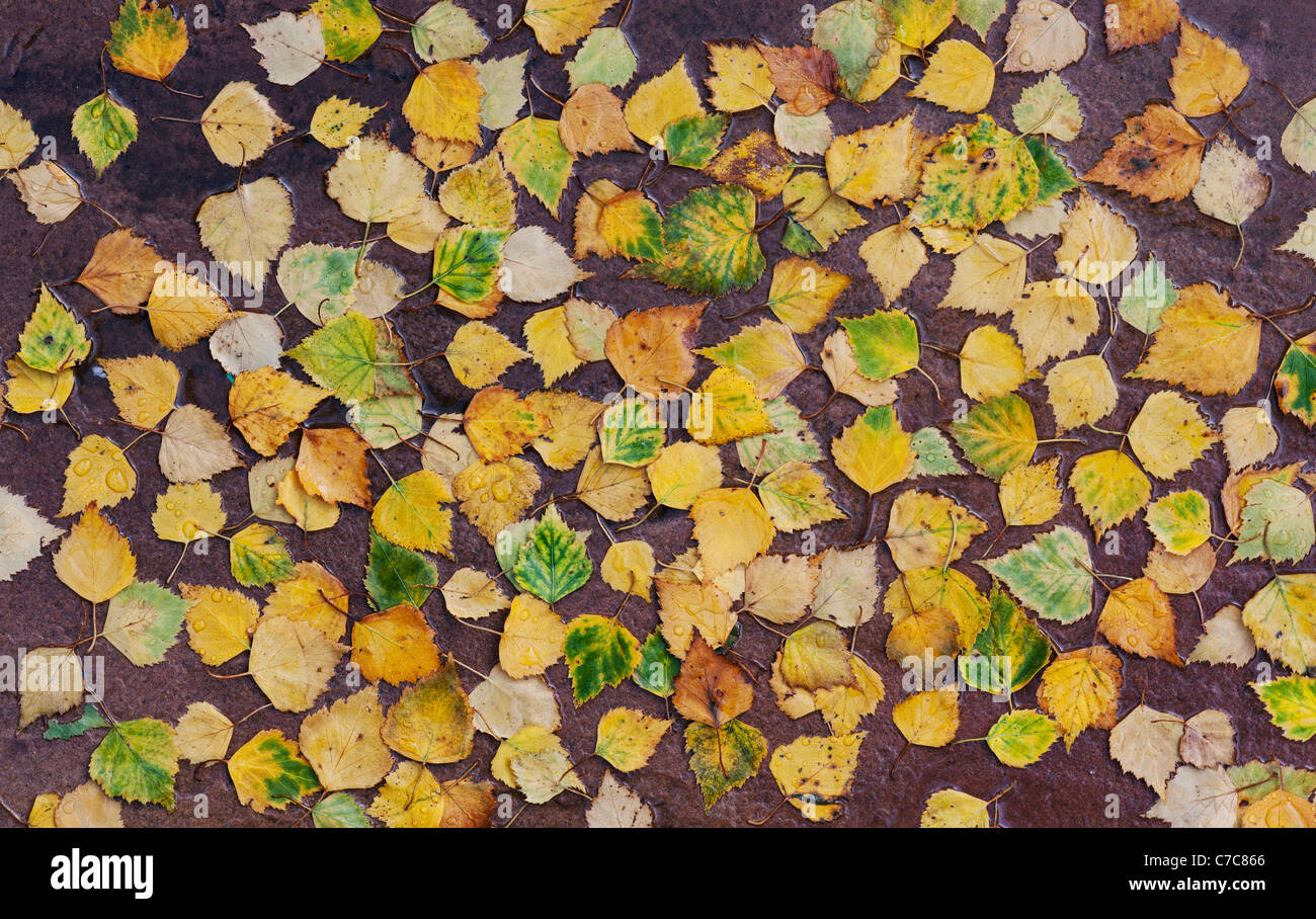 Betula pendular . Silver birch leaves on a wet path in autumn - Stock Image