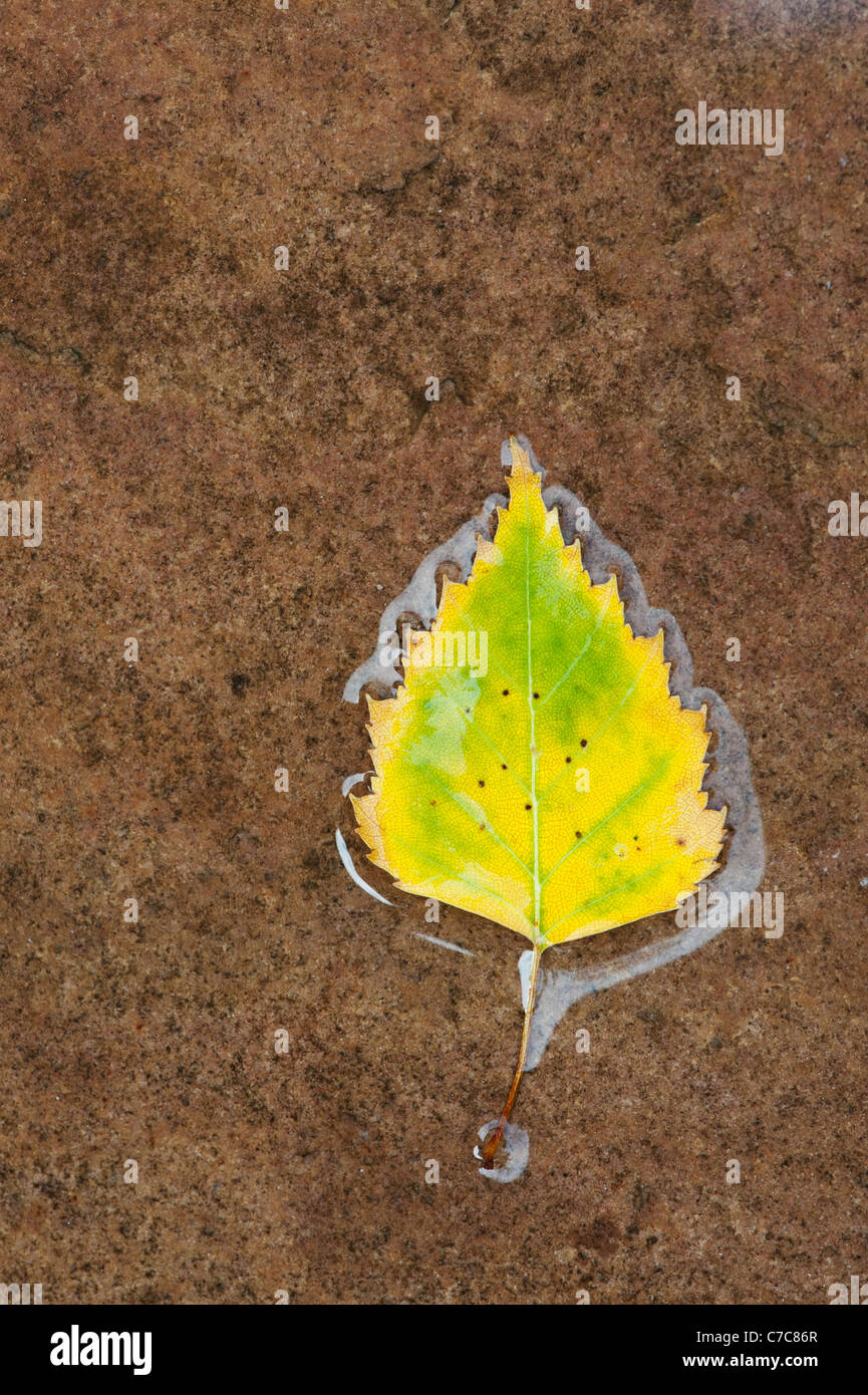 Betula pendular . Silver birch leaf on a wet path - Stock Image