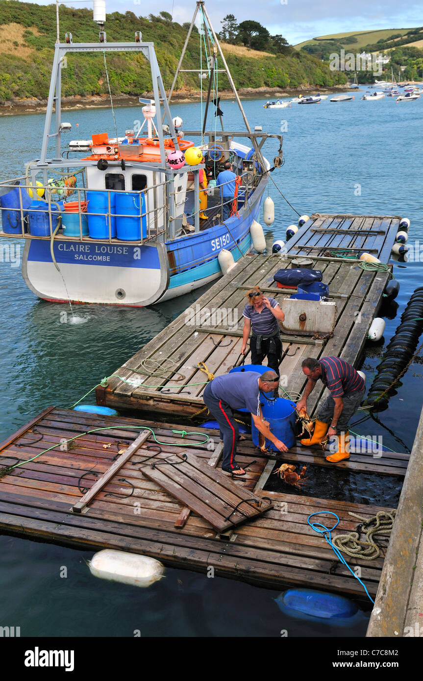 Devon's famous  South Devons brown  crabs   being landed at Fish Quay  Salcombe Town  Devon - Stock Image