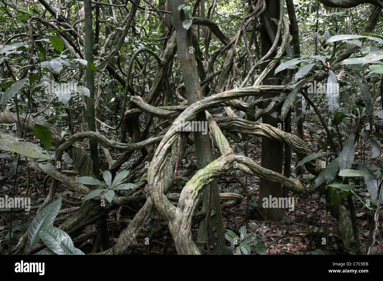 Tangle of lianas in rainforest, Korup, Cameroon. - Stock Image