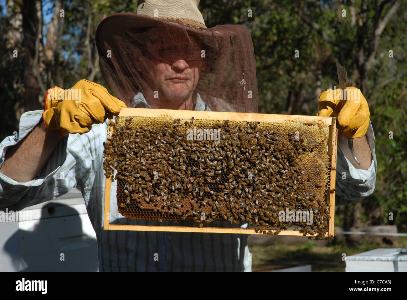 honey bees and bee keeper, Cape Cleveland, Queensland, Australia - Stock Image