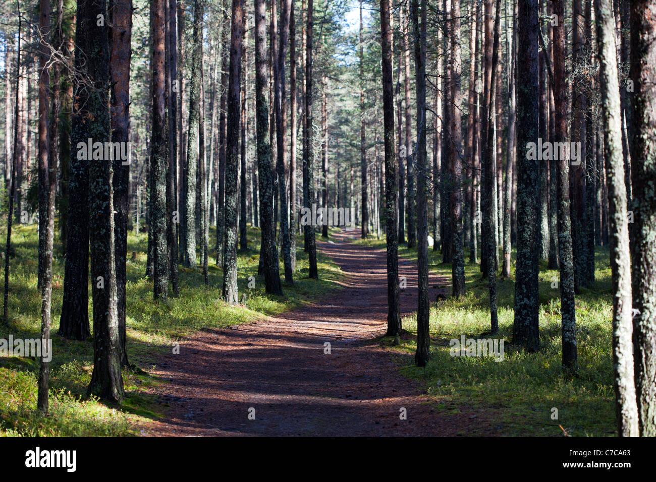 Path in pine ( pinus sylvestris ) forest , Finland - Stock Image