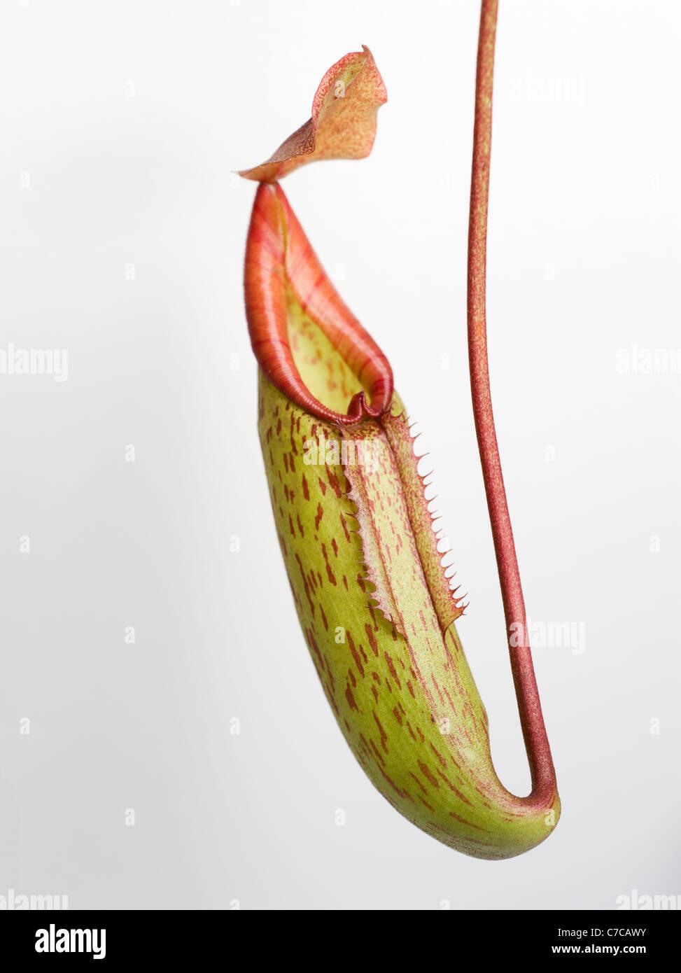 Carnivorous Pitcher Plant - Stock Image