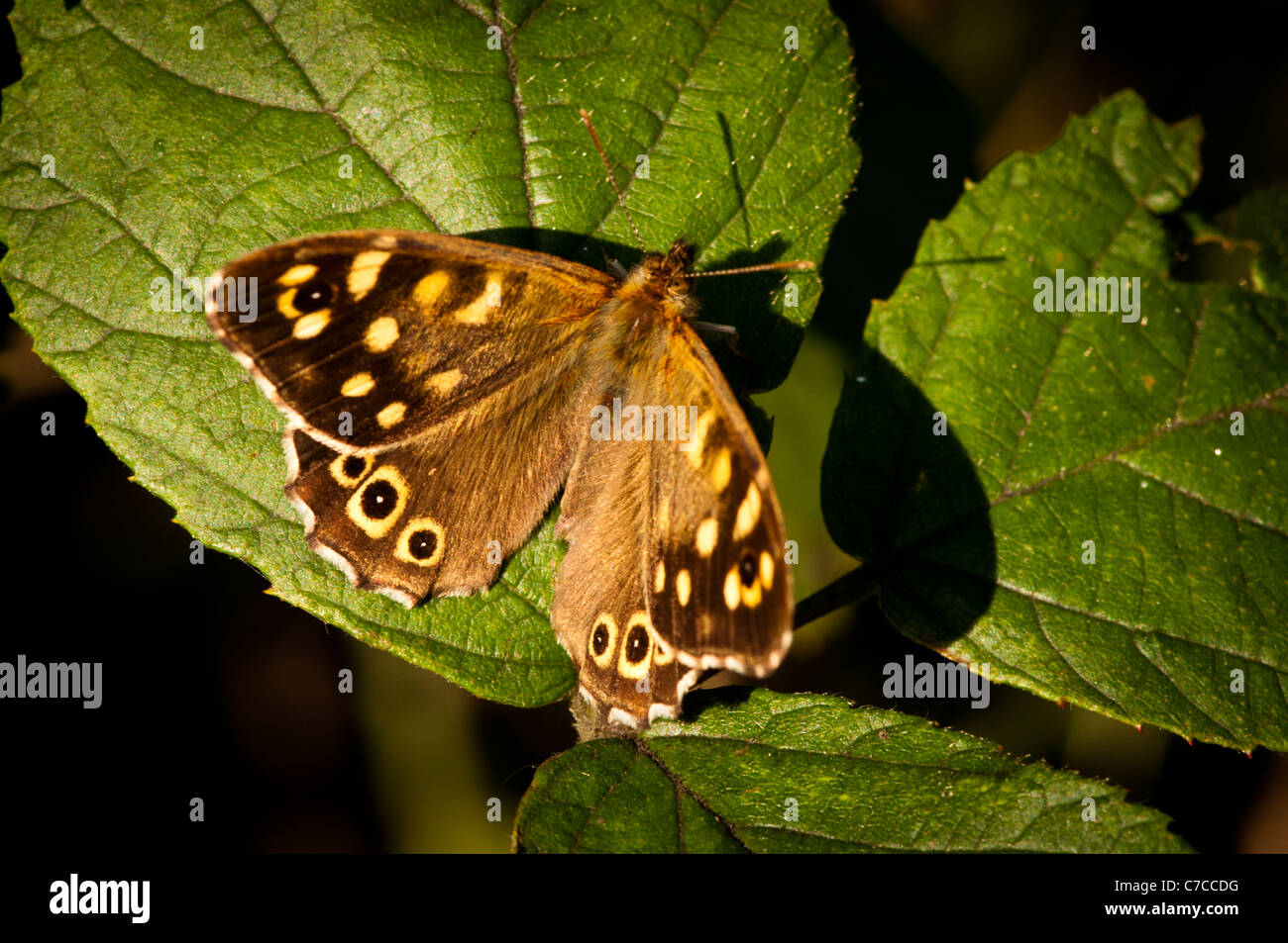 Speckled Wood (Pararge aegeria) - Stock Image