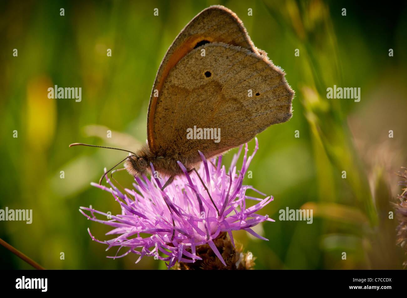 Meadow Brown (Maniola jurtina) Stock Photo