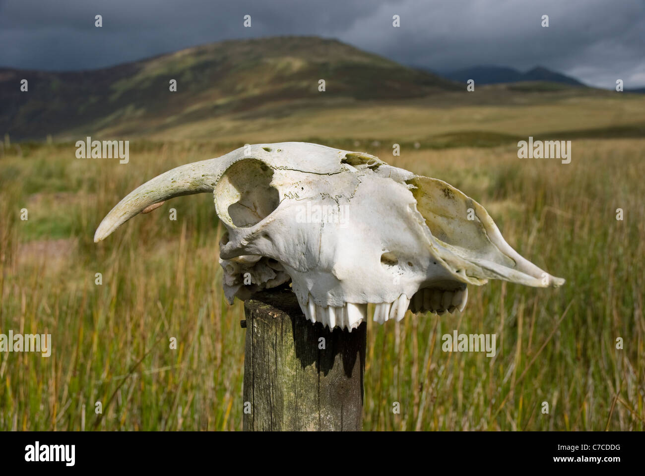 Skull of a sheep on a wooden fence post. - Stock Image