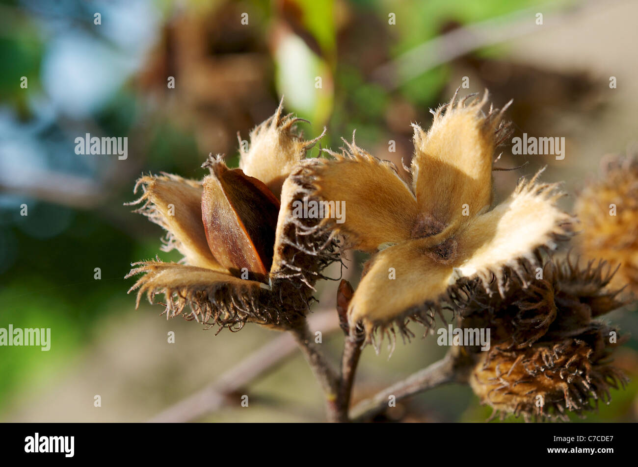 Beech Nut Stock Photos Beech Nut Stock Images Alamy