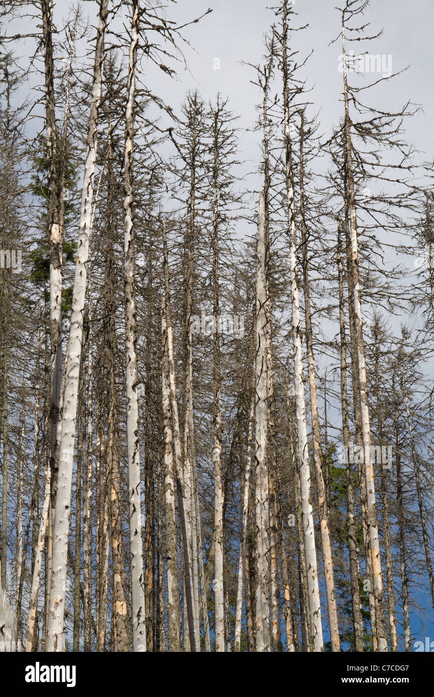 Norway spruce (Picea abies) killed by bark beetle. - Stock Image