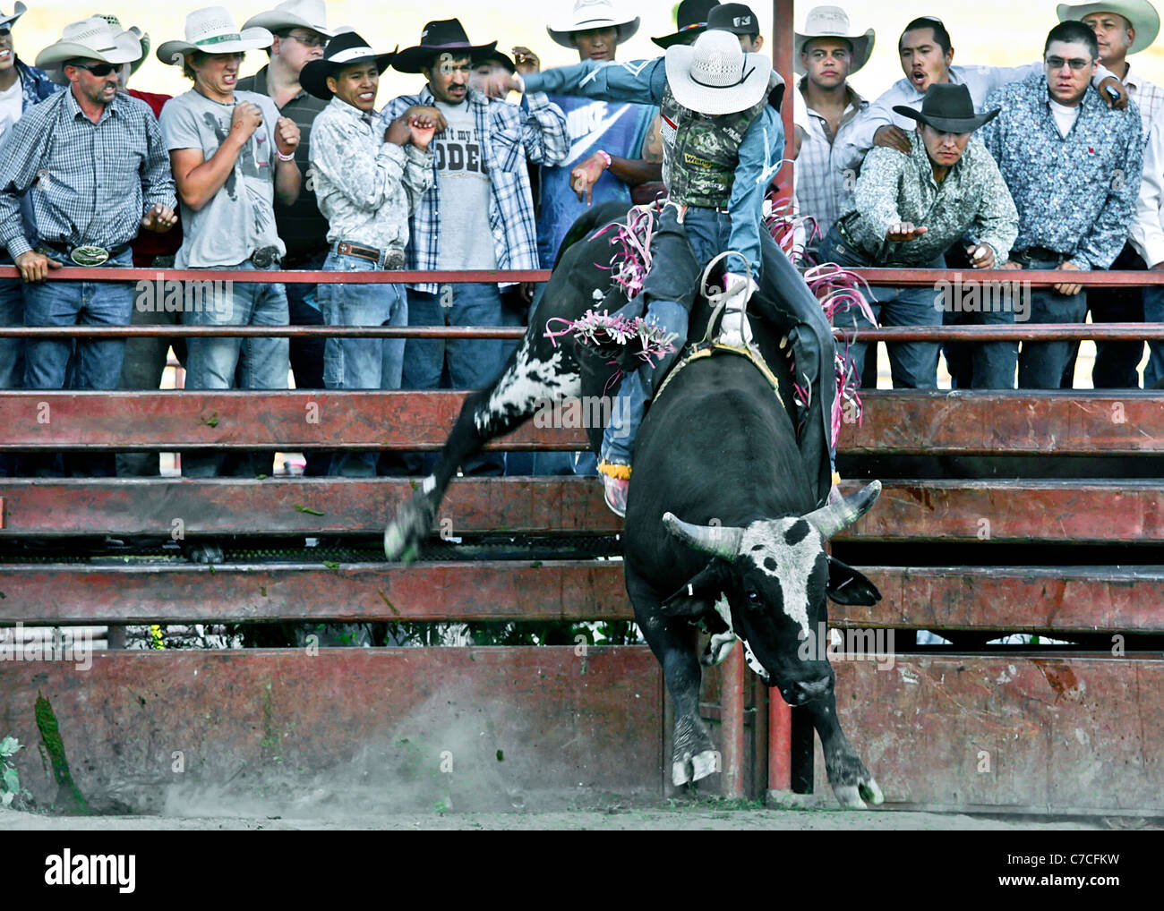 Bull riding competitor during the rodeo held at the Crow Agency reservation in Montana during the annual Crow Fair. - Stock Image