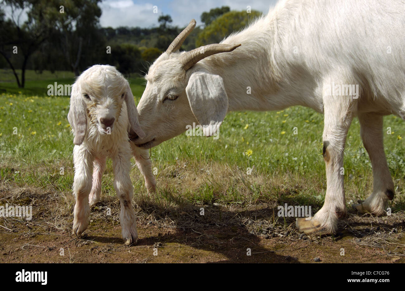 White domestic goat with a newborn kid in a meadow. - Stock Image