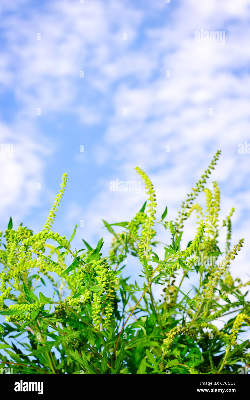 Flowering ragweed plant in closeup against blue sky, a common allergen Stock Photo