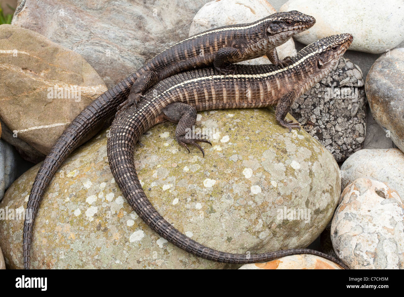 Plated Lizards (Gerrhosaurus validus). Southern and eastern Africa. - Stock Image