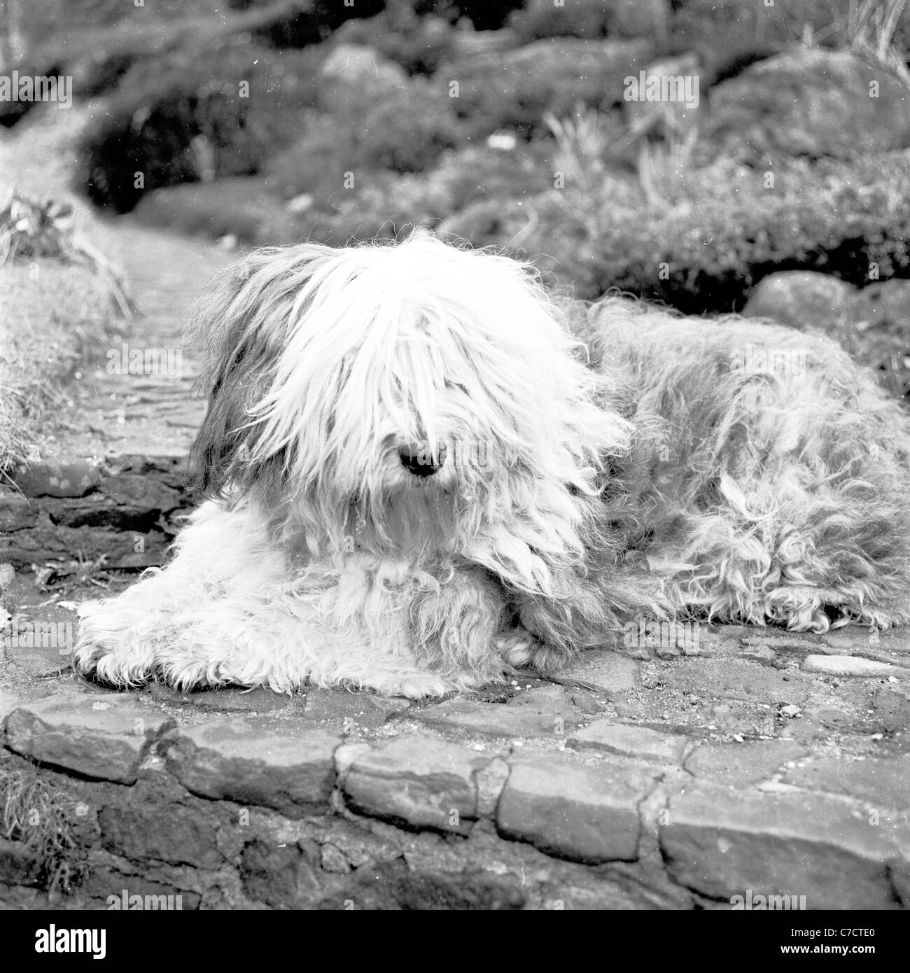 Small Bearded Collie puppy lies on paving stone in garden in this picture taken by J. Allan Cash in the 1950s. - Stock Image