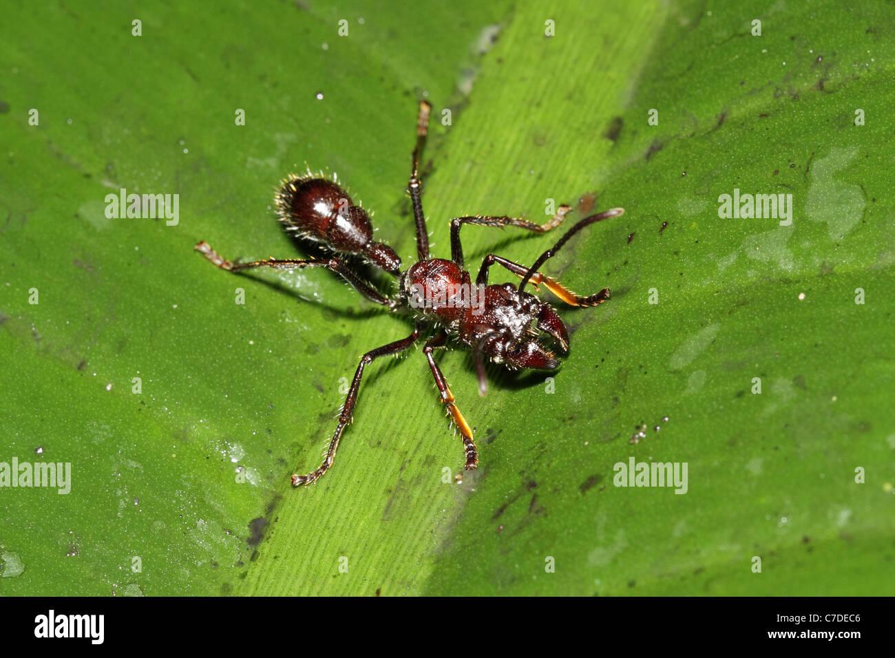 Bullet (Conga) Ant, Paraponera clavata near Sacha Lodge Stock Photo