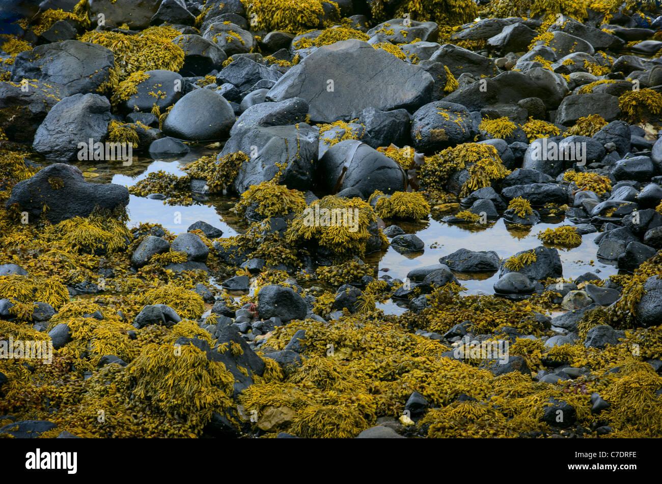 Bladderwrack seaweed on the beach - Stock Image
