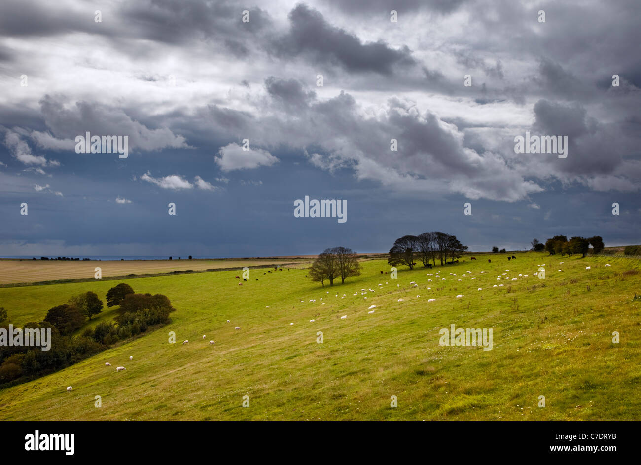 Sheep and cattle on the South Downs with stormy sky overhead and the English Channel in distance. Worthing, Sussex, - Stock Image