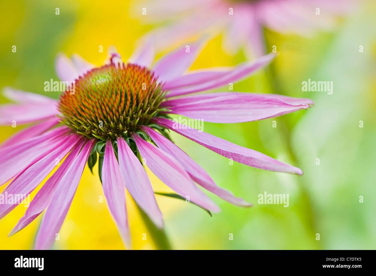 Echinacea purpurea Eastern purple cone flowers or Purple coneflower - Stock Image