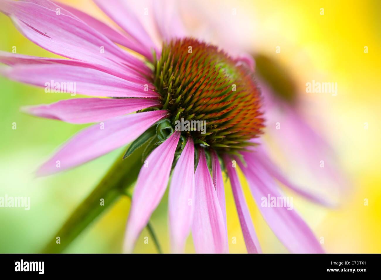 Echinacea purpurea Eastern purple cone flowers or Purple coneflower Stock Photo