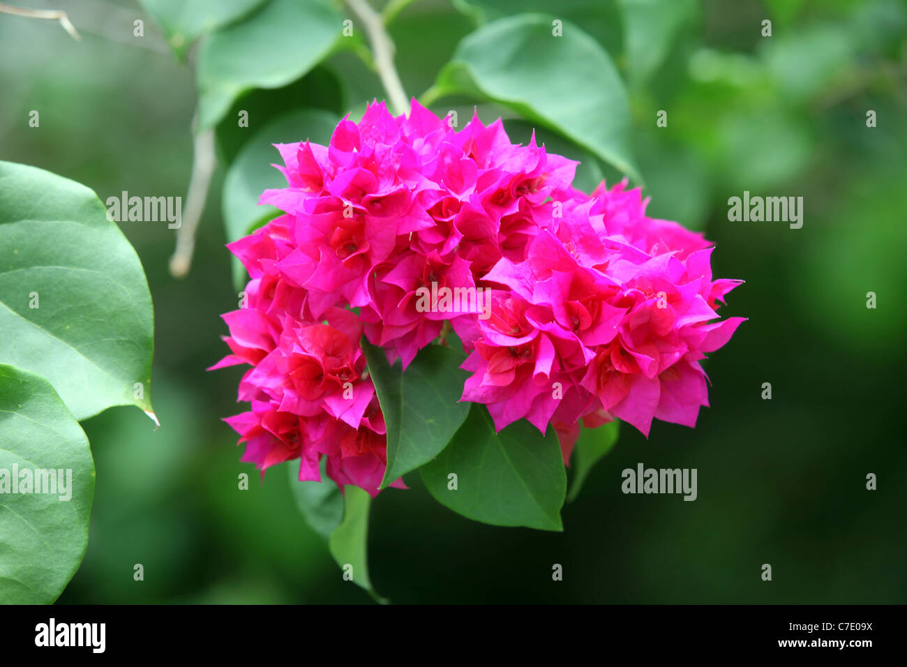 Magenta bracts on brightly coloured Bougainvillea glabra Crete, Bougainville Island, Papua New Guinea - Stock Image