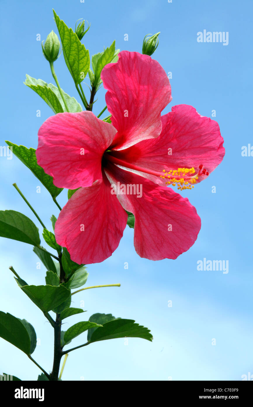 Pink hibiscus flower stock photos pink hibiscus flower stock pink hibiscus flower hibiscus rosa sinensis papua new guinea stock image izmirmasajfo