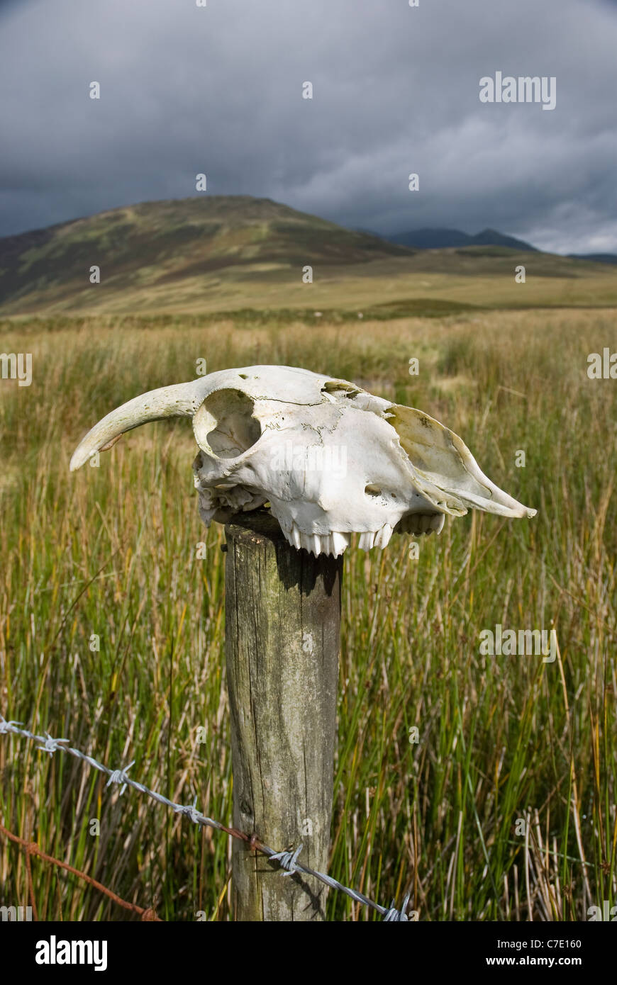 Skull of a sheep on a wooden fence post with barbed wire. - Stock Image