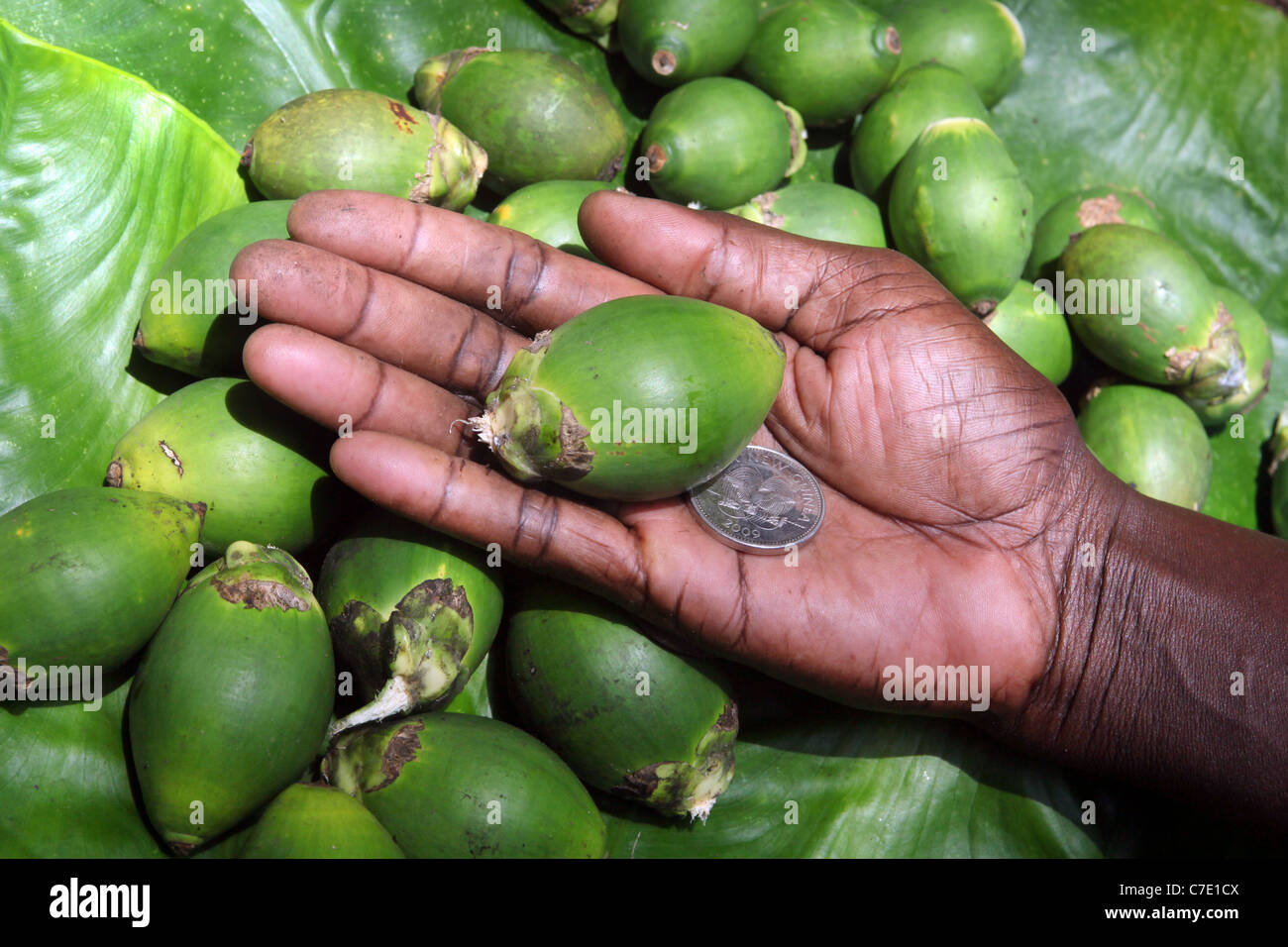 Betel nut in a hand, with 20 Toea coin (0,2 Kina, cost of one nut). Papua New Guinea - Stock Image