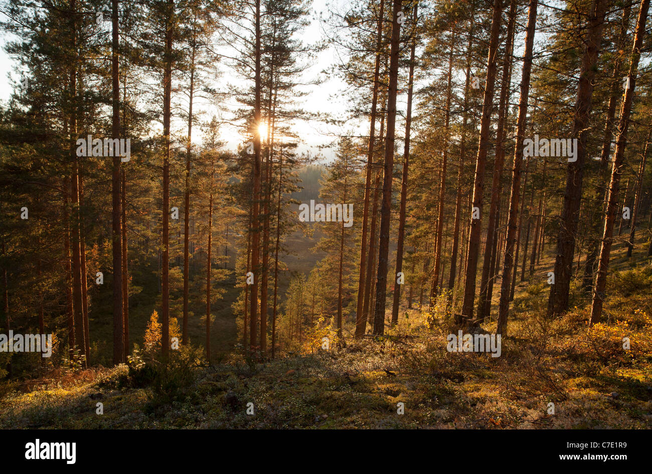 Young pine ( pinus sylvestris ) forest growing on a dry ridge , Finland - Stock Image