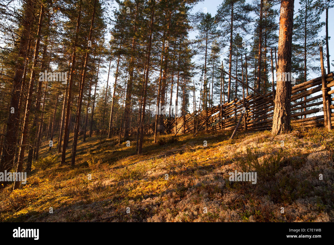 Young pine ( pinus sylvestris ) forest growing on a dry esker ridge and traditional wooden pole fence , Finland - Stock Image