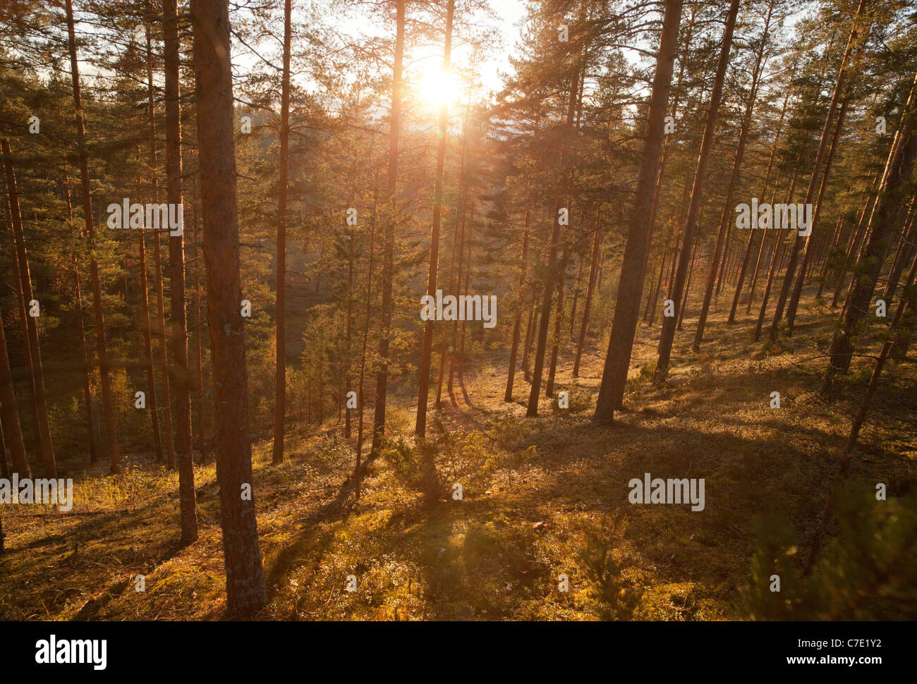 Young pine ( pinus sylvestris ) forest growing on a dry sandy ridge , Finland - Stock Image