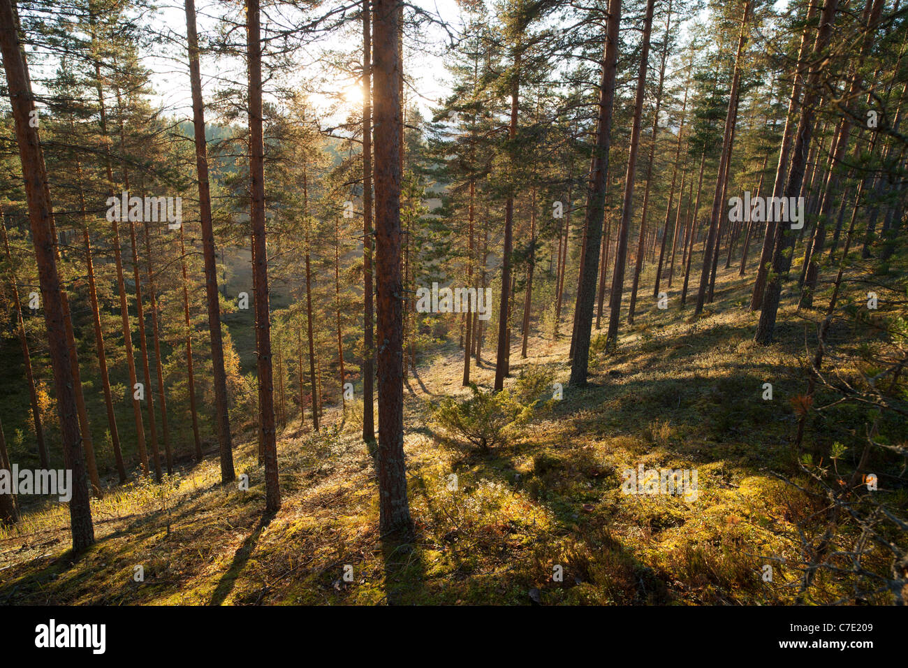 Young pine ( pinus sylvestris ) heath / coniferous forest growing on a dry ridge , Finland Stock Photo