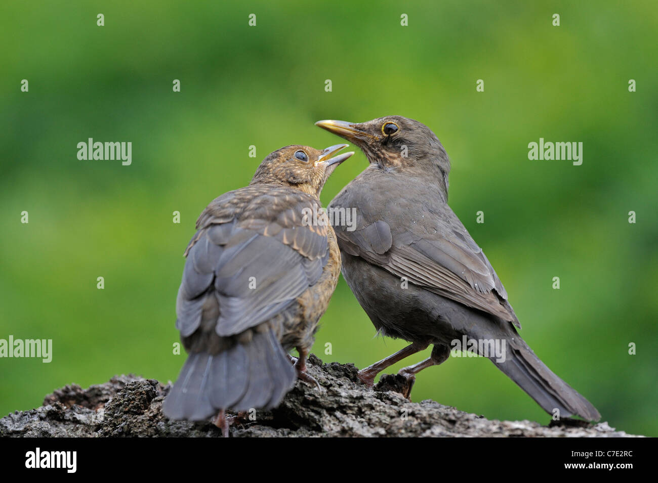 Common Blackbird (Turdus merula) female and juvenile begging for food, Belgium - Stock Image