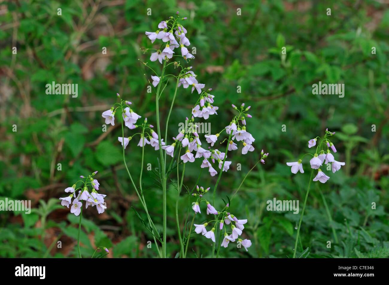 Cuckoo Flower / Lady's Smock (Cardamine pratensis) flowering in meadow Stock Photo