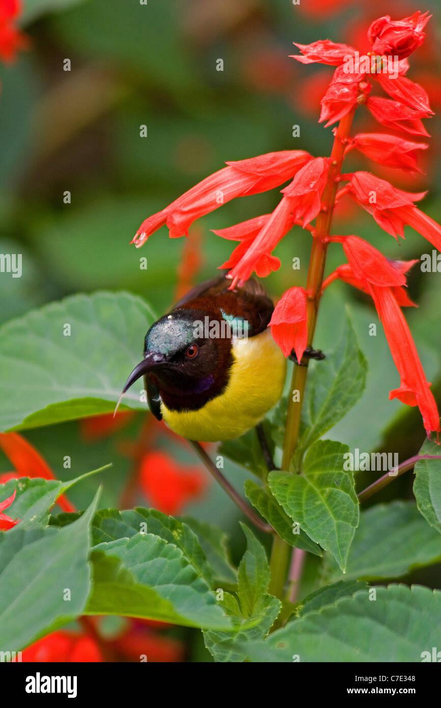Purple rumped sunbird nectarinia zeylonica Sri Lanka - Stock Image