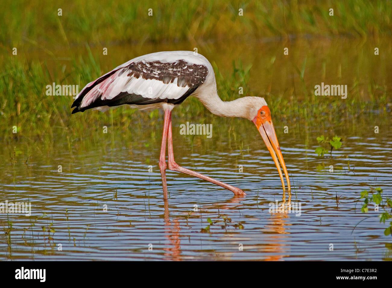Painted stork mycteria leucocephala Sri Lanka - Stock Image
