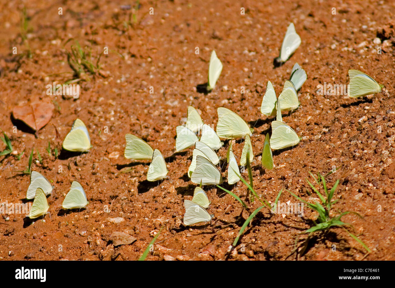 Butterflies taking nutrients from bare earth surface Sri Lanka - Stock Image