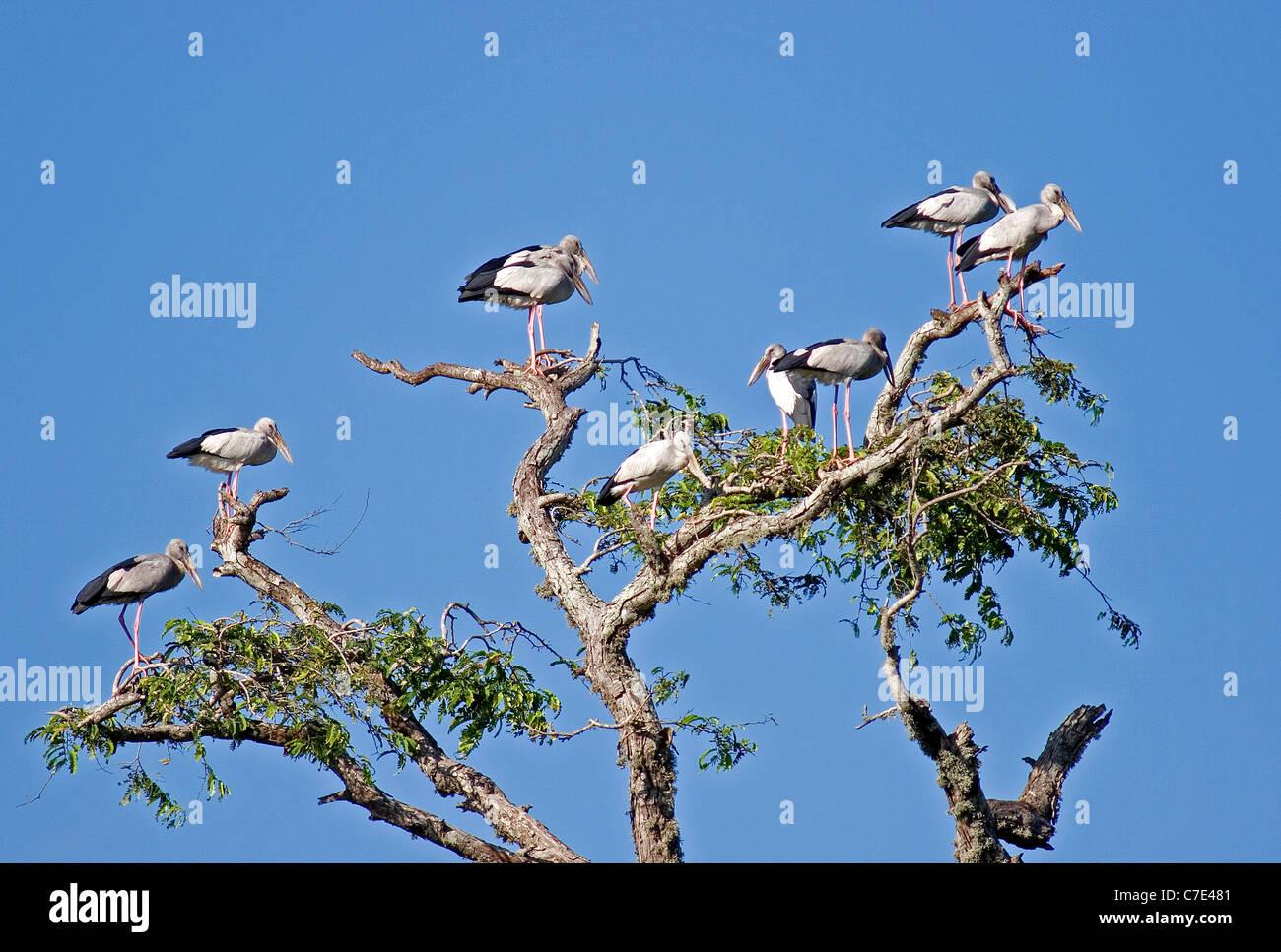 Asian open billed storksanastomus oscitans Sri Lanka - Stock Image