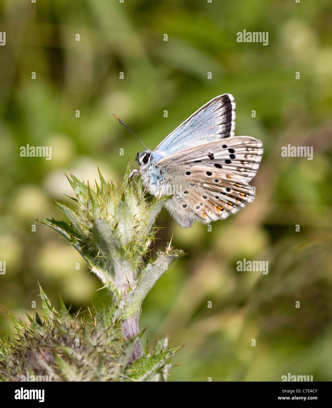 Male Chalkhill Blue butterfly Polyommatus coridon sunning on thistle at Portland Bill Dorset - Stock Image