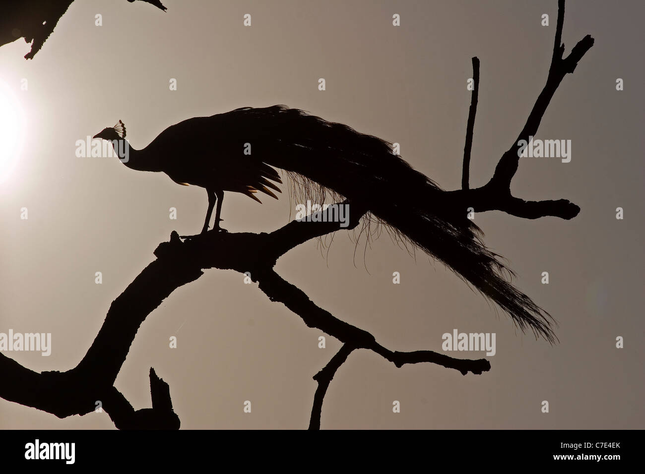 Peafowl pavo cristatus Sri Lanka - Stock Image