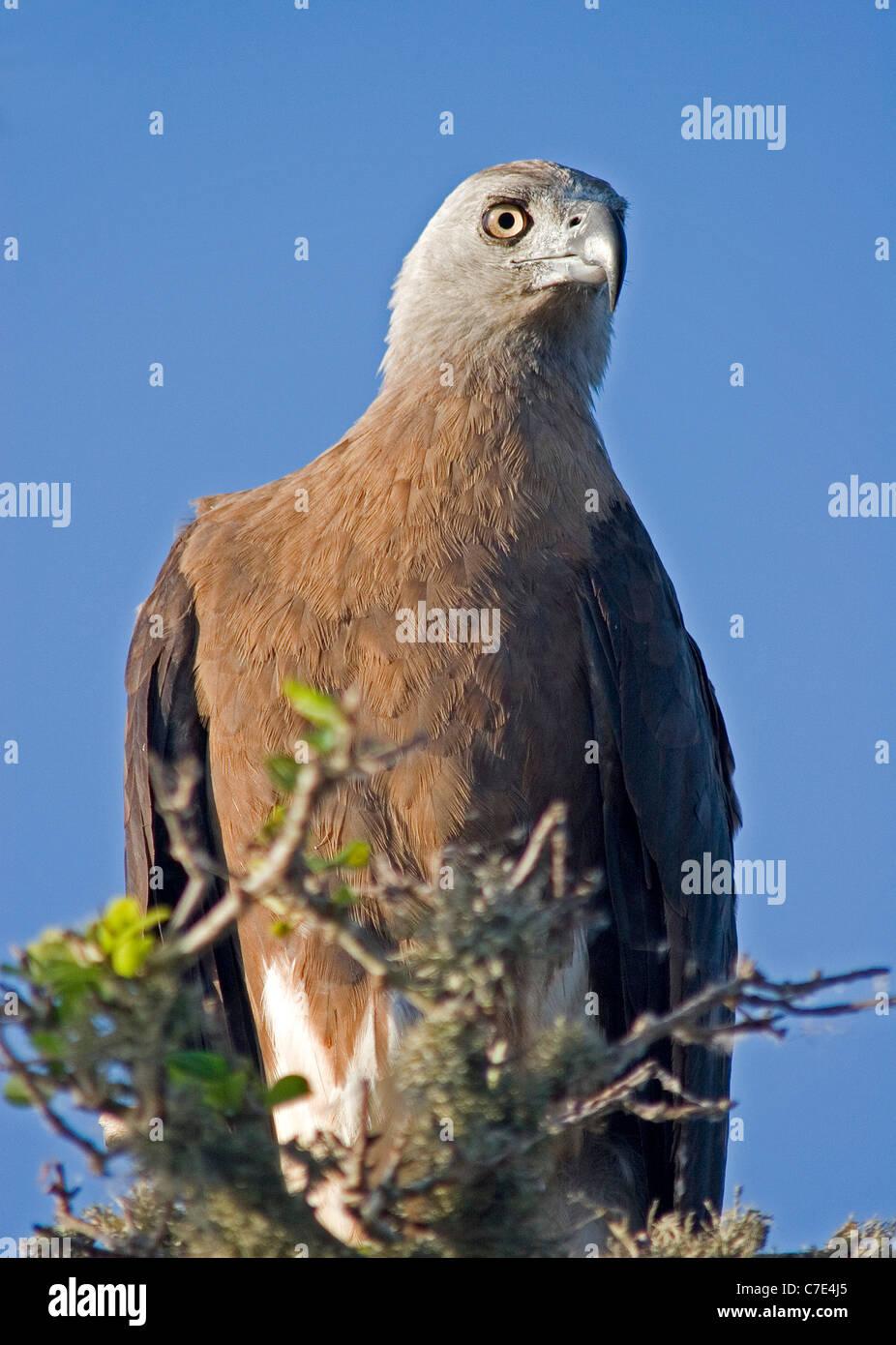 Grey headed fishing eagle ichthyophaga ichthyaetus Sri Lanka - Stock Image