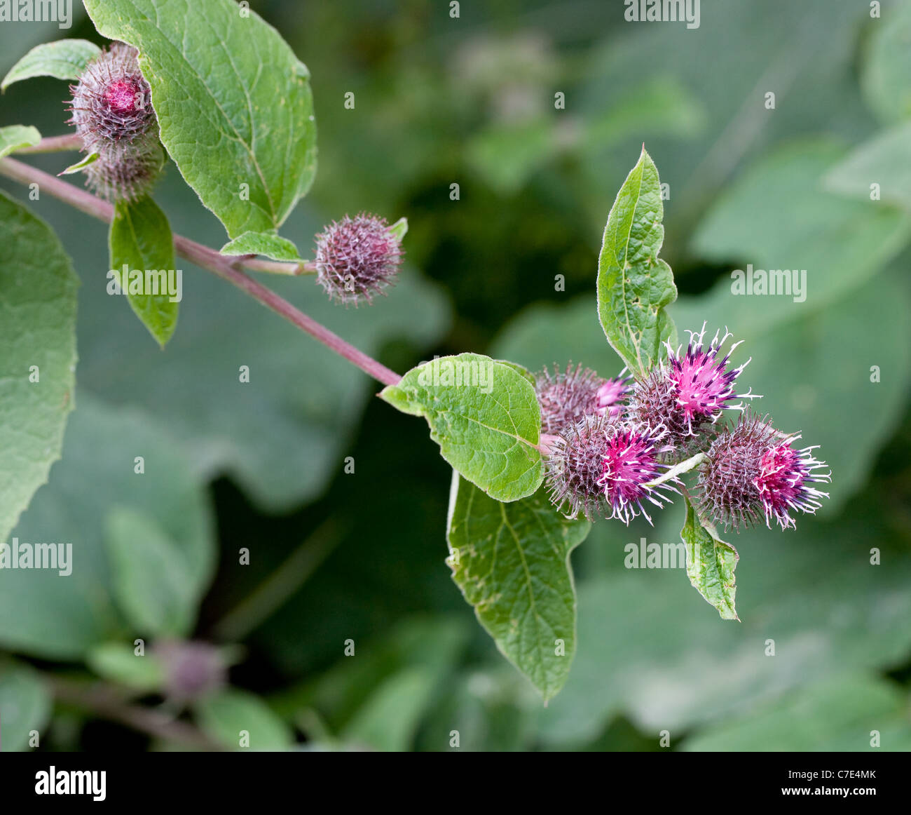 Lesser Burdock Arctium minor showing burs sometimes called sticky buds bobs Jacks or Willy , cleavers or beggars - Stock Image