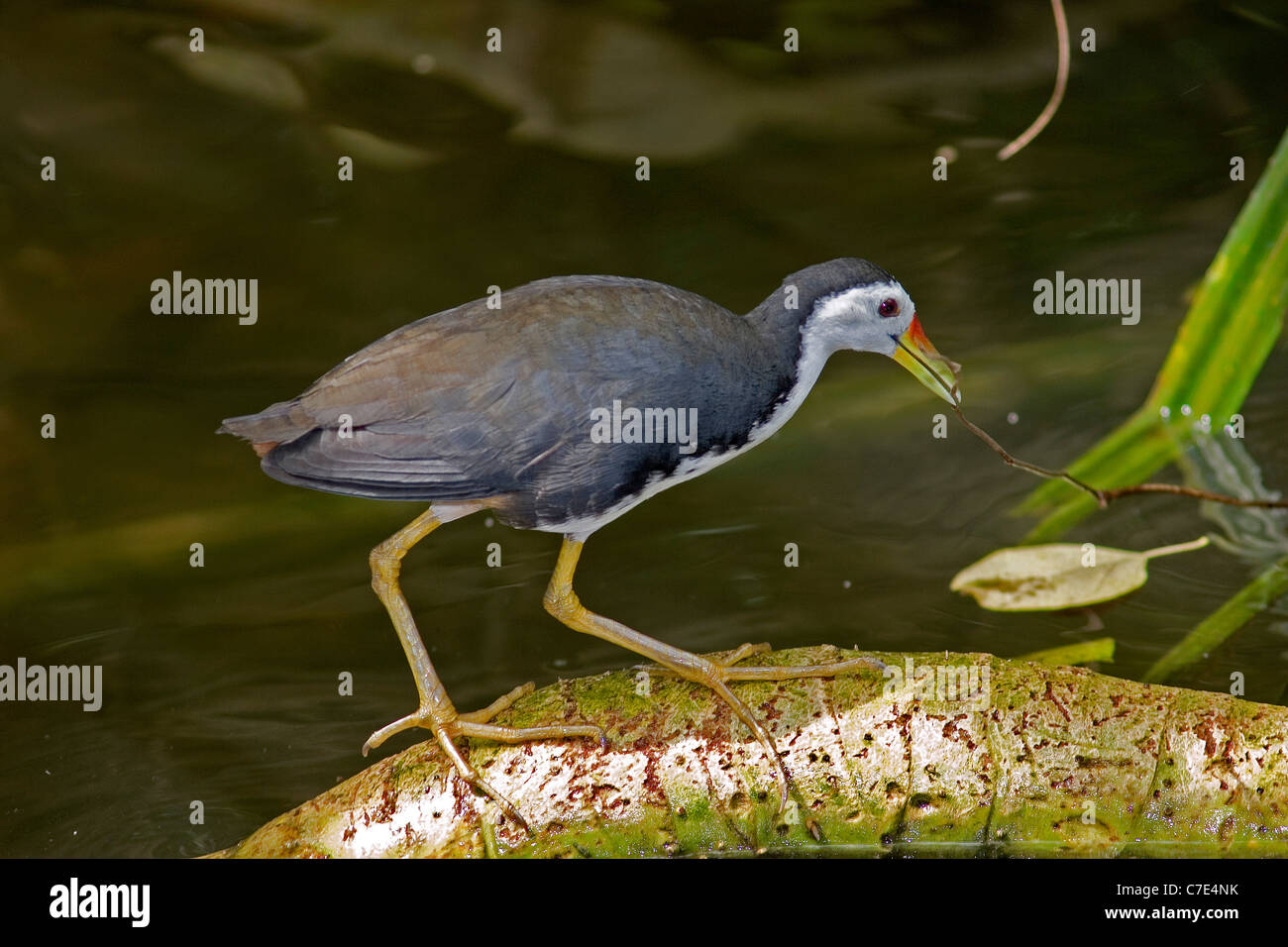 White breasted waterhen amaurornis phoenicurus Sri Lanka - Stock Image