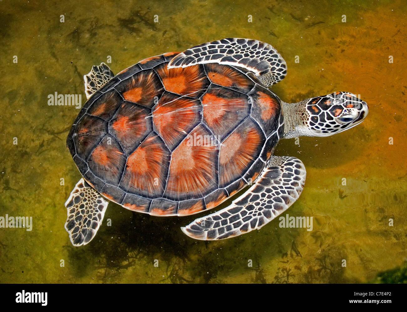 Olive Ridley turtlelepidochelys olivacea Sri Lanka - Stock Image