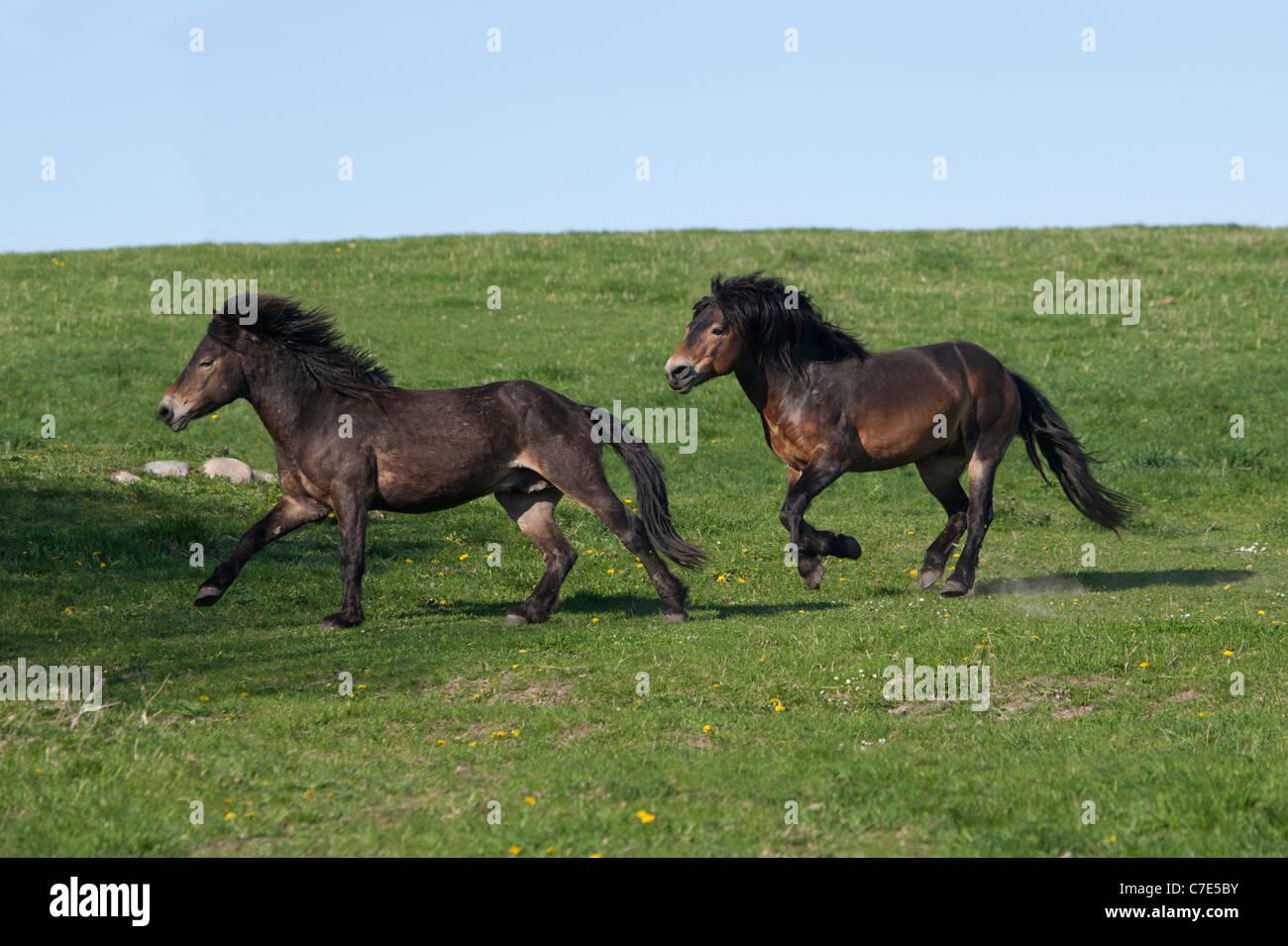 wild feral horse animal exmoor pony ponies free stock photo