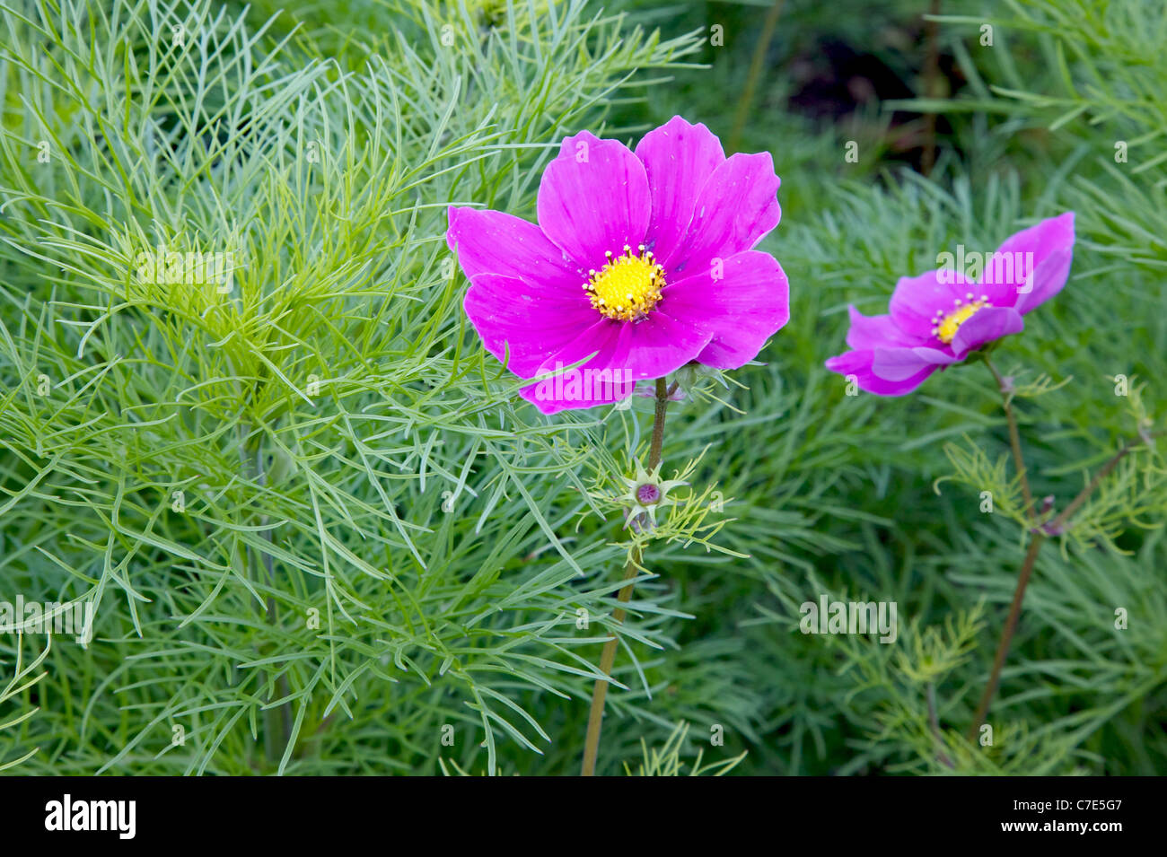 Bright cerise flowers of the Mexican Aster or garden Cosmos C. pinnatus and its feathery foliage - Stock Image