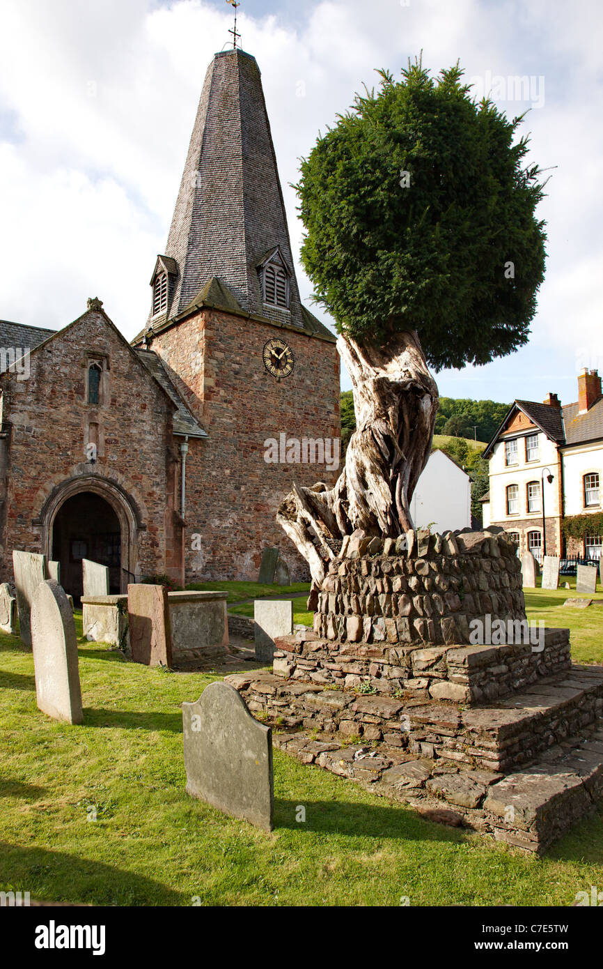 Ancient and revered yew tree in the churchyard of short steepled St Dubricius parish church in Porlock Somerset - Stock Image