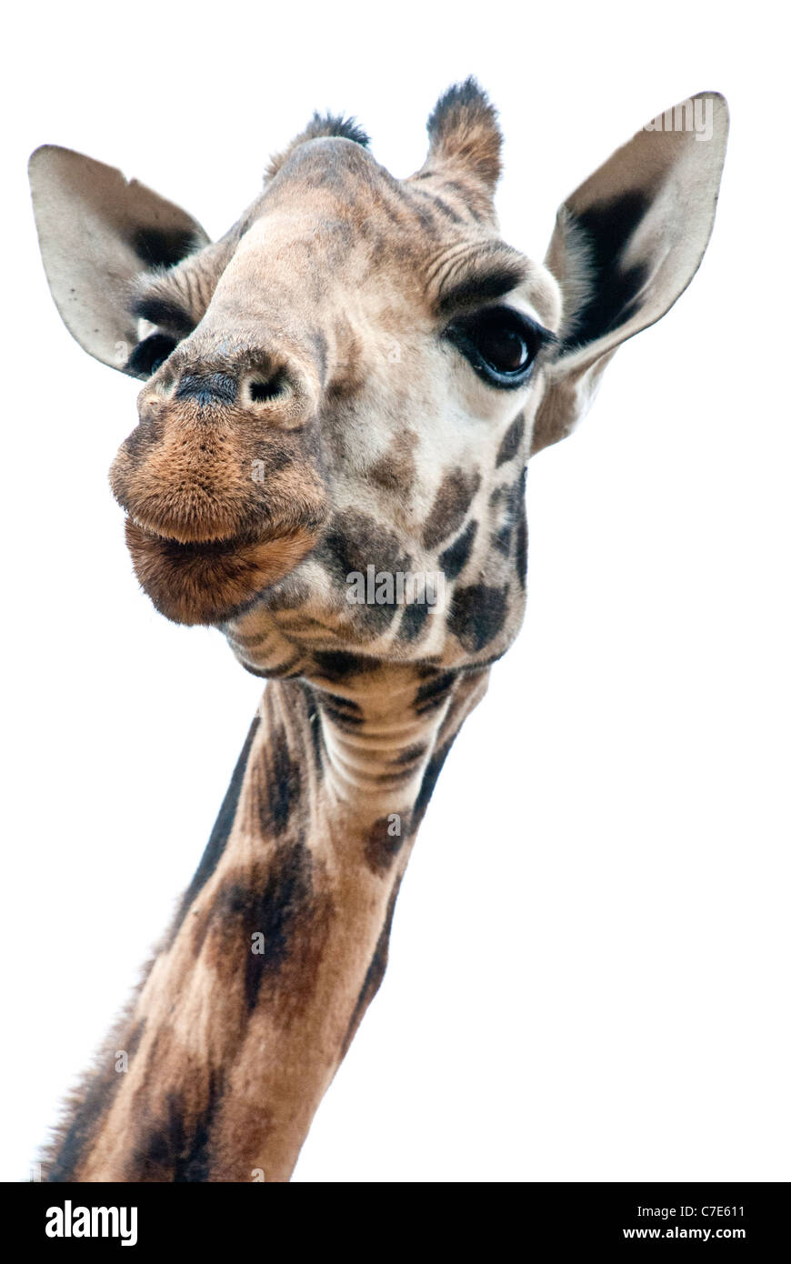 Head Shot of Rothschild Giraffe, Kenya, Africa - Stock Image