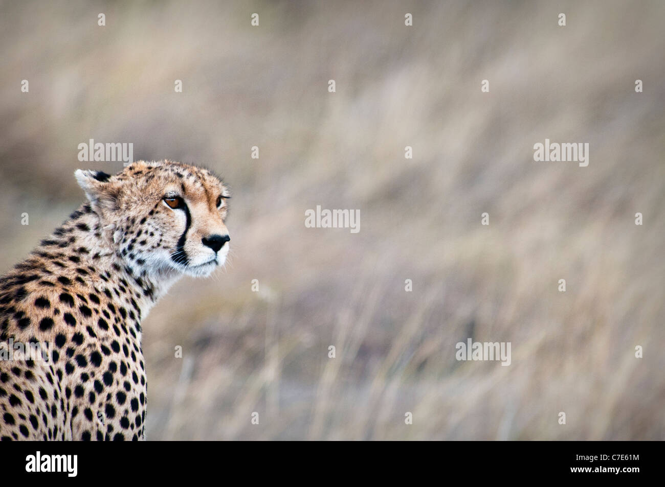 Cheetah, Acinonyx  jubatus, Looking for prey, Masai Mara National Reserve, Kenya, Africa Stock Photo