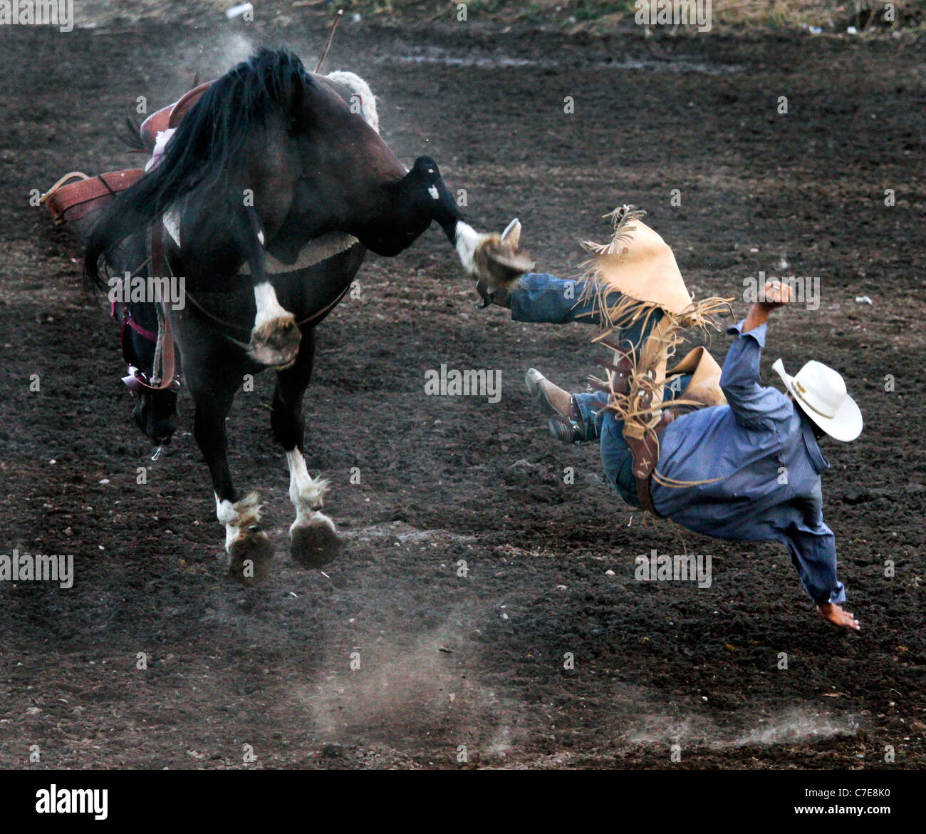Competitor thrown away from his mount during the bronco riding event of the rodeo held on the Fort Hall reservation - Stock Image