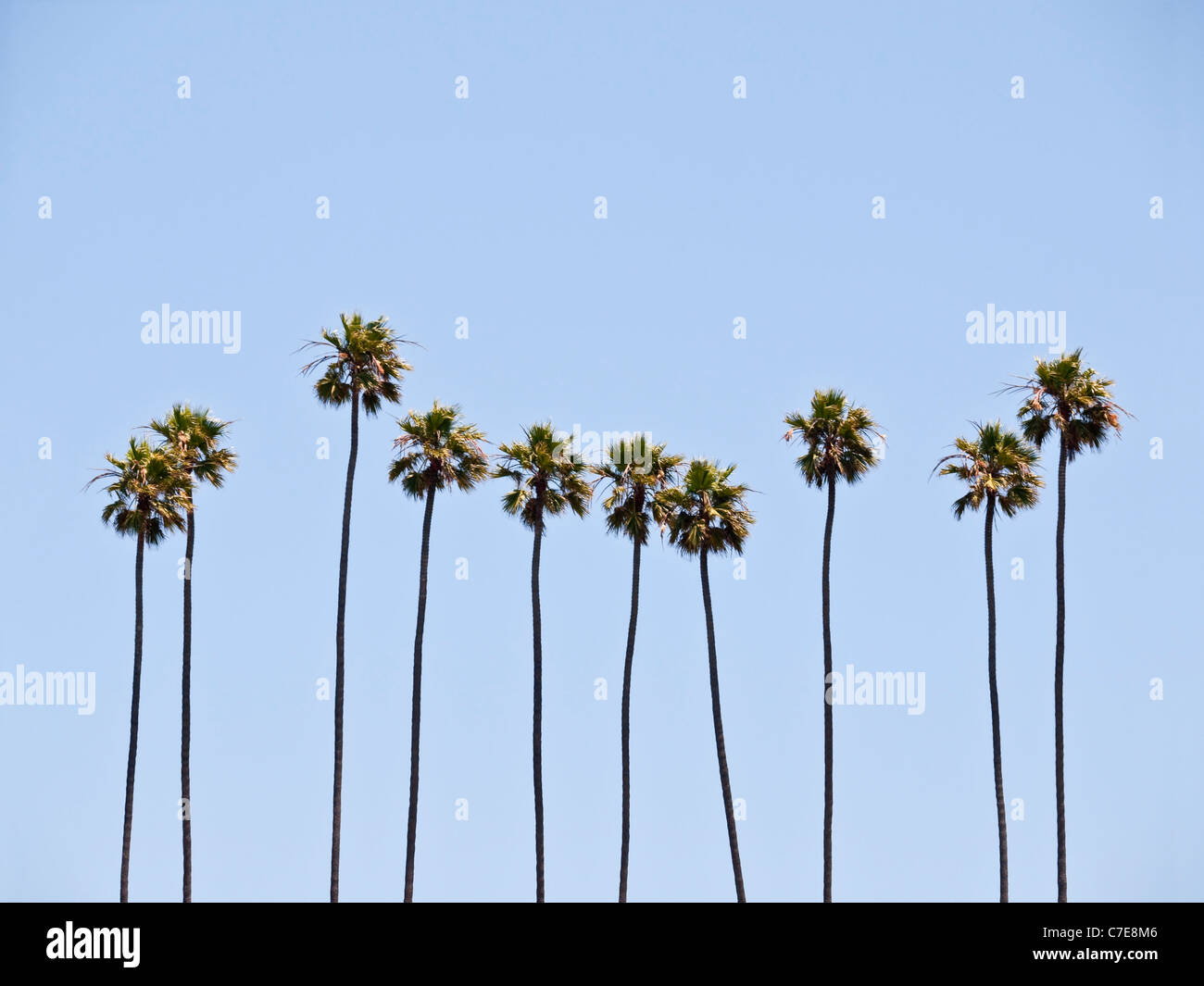 A group of towering mature palm trees in sunny southern California.